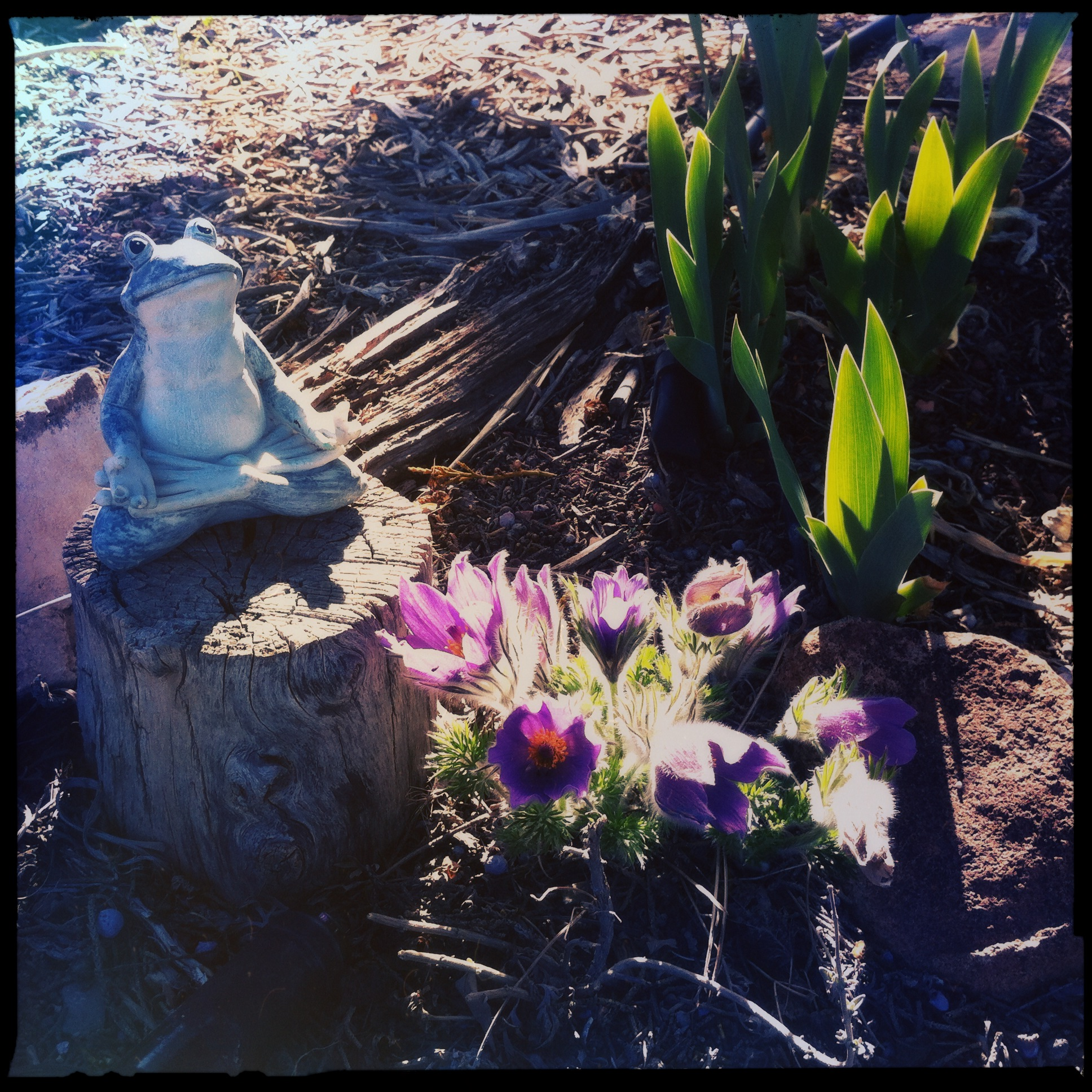 Another frog watches over European pasqueflower and iris shoots by the bottle wall.