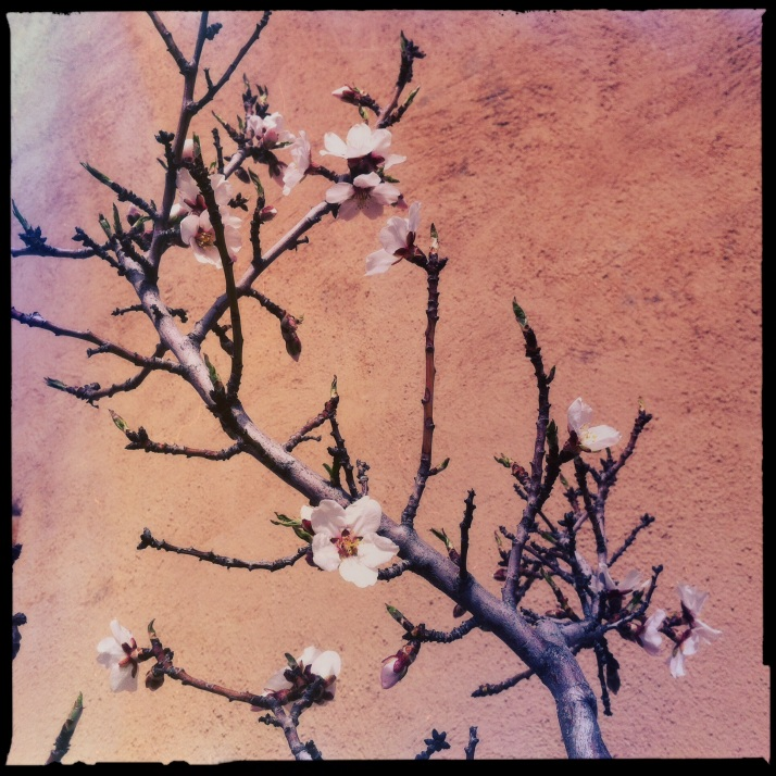 Almond blossoms opening against the warm stucco of the house.