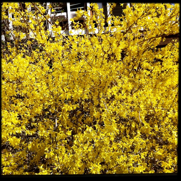 Forsythia fills the window where I park at Small Potatoes Farm to pick up the week's bread from the brick oven bakery.