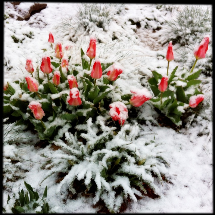 Tulips in snow, this fleeting bittersweet beauty. A friend in sunny Florida fights for her life.