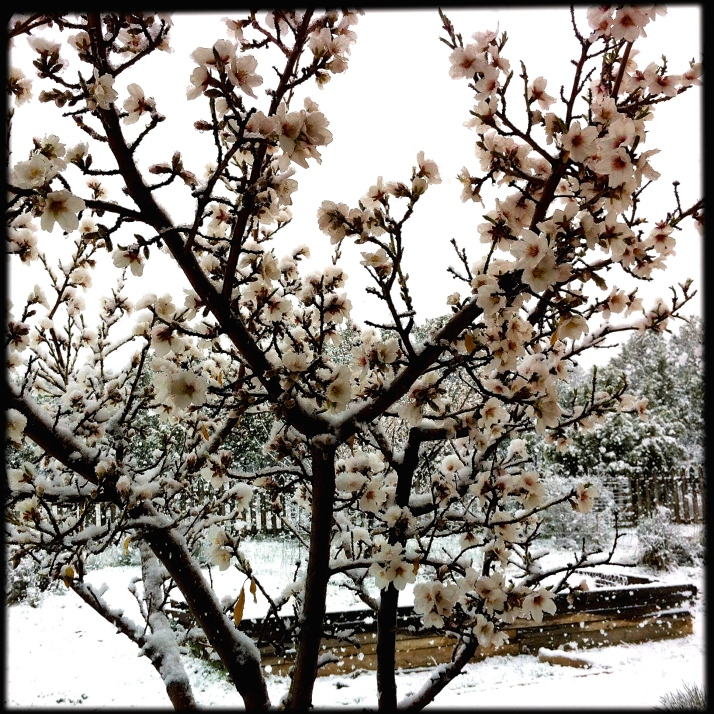Through snowy almond blossoms...