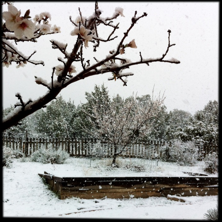 ... the apricot is also covered in snow. I watch it all day through the window as snow melts and blossoms show pink, then watch it get covered again. Each blooming tree a singular gift of changing beauty.