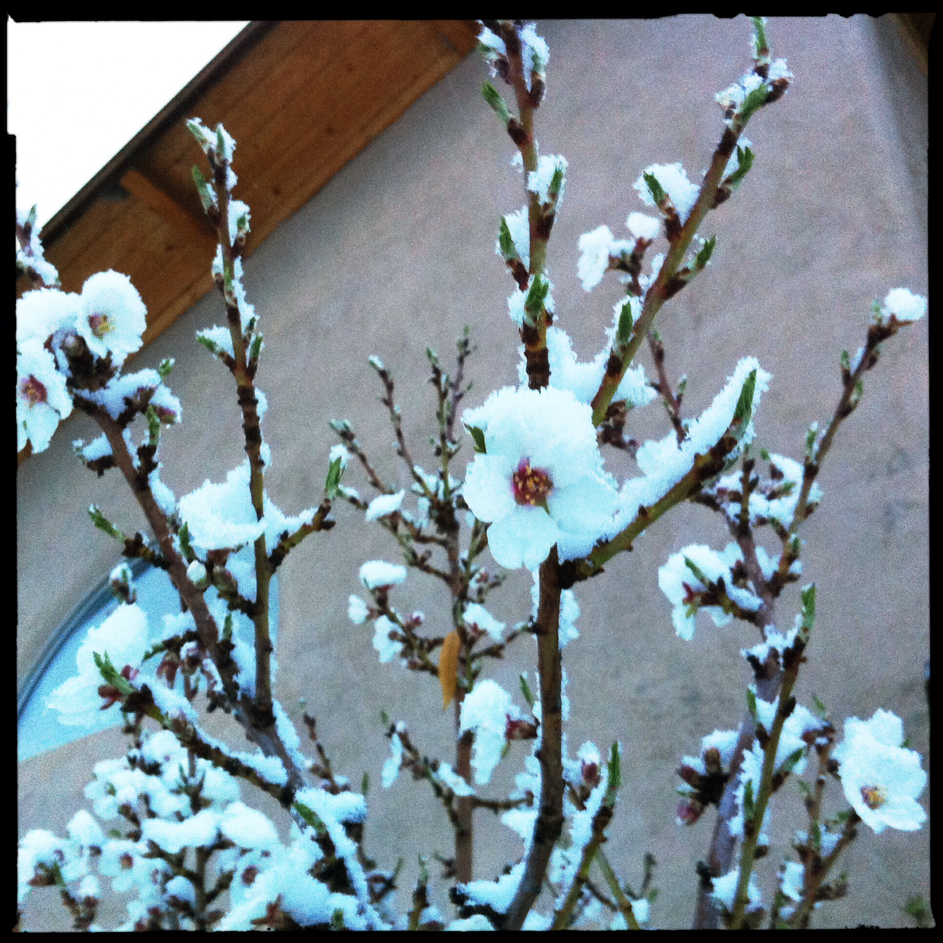 The almond blossoms appear to have been protected from the freeze.