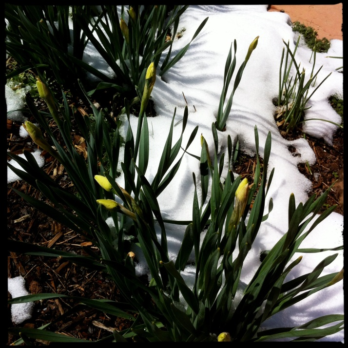 Jonquil buds in snow Monday are closer to opening today.