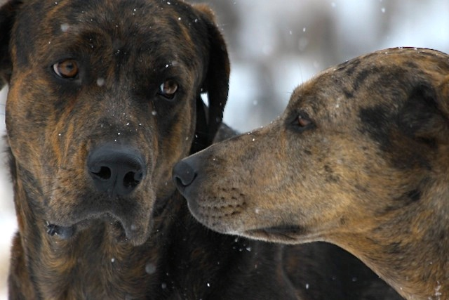 The two resident catahoulas in a gentle snow like that which fell off and on today.