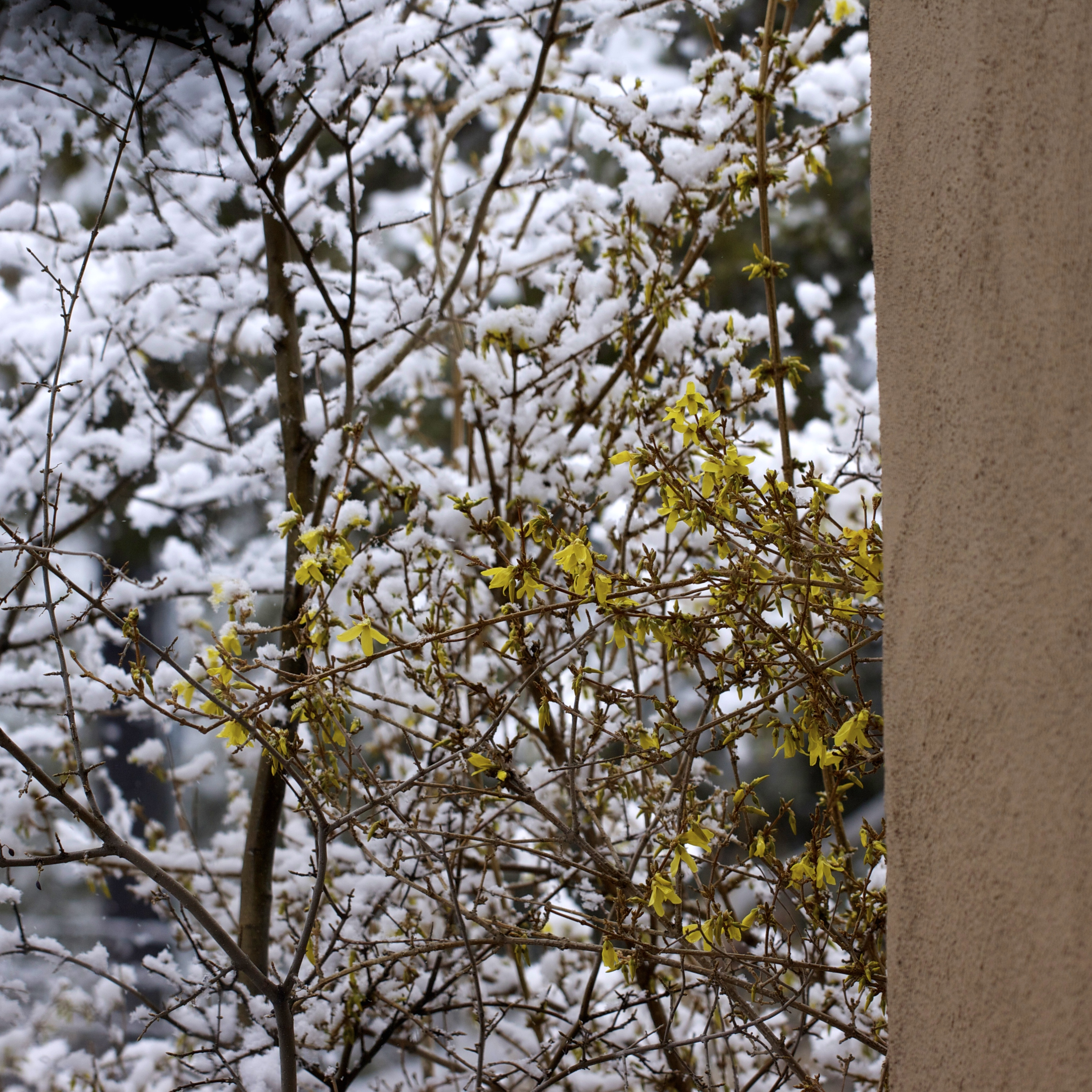 Forsythia in bloom a week ago one morning in a brief spring snow. I planted this forsythia in remembrance of my mother long before she died, knowing this day would come: she'd be gone and it's blossoms would remind me of her and eastern Easters.