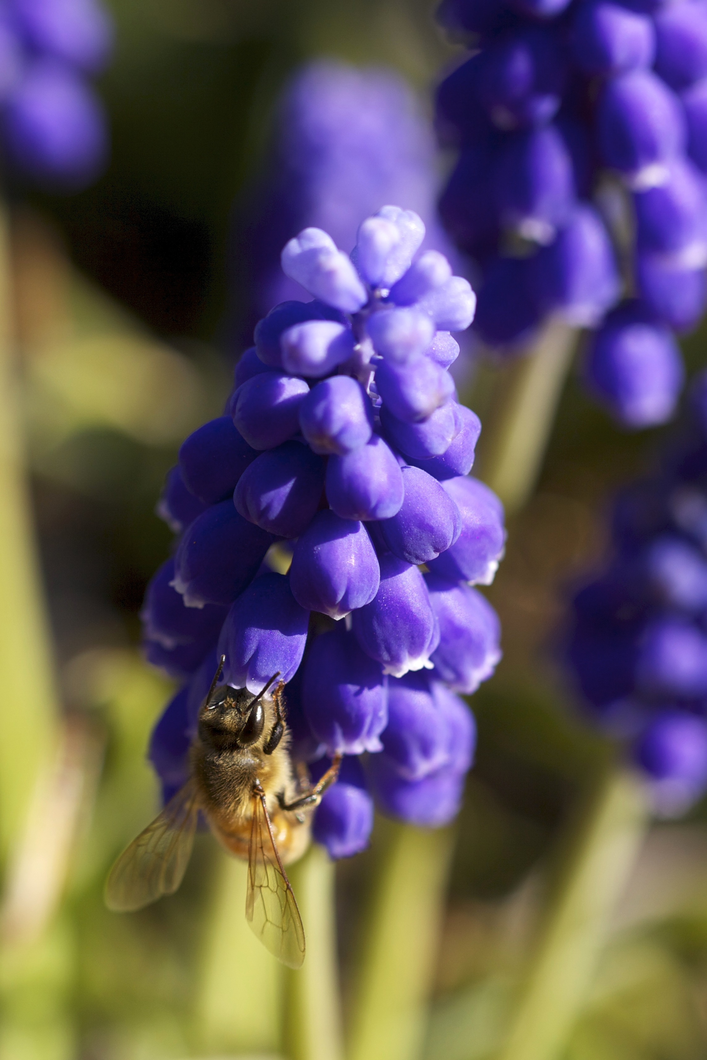 And a honeybee drinking deep in another.