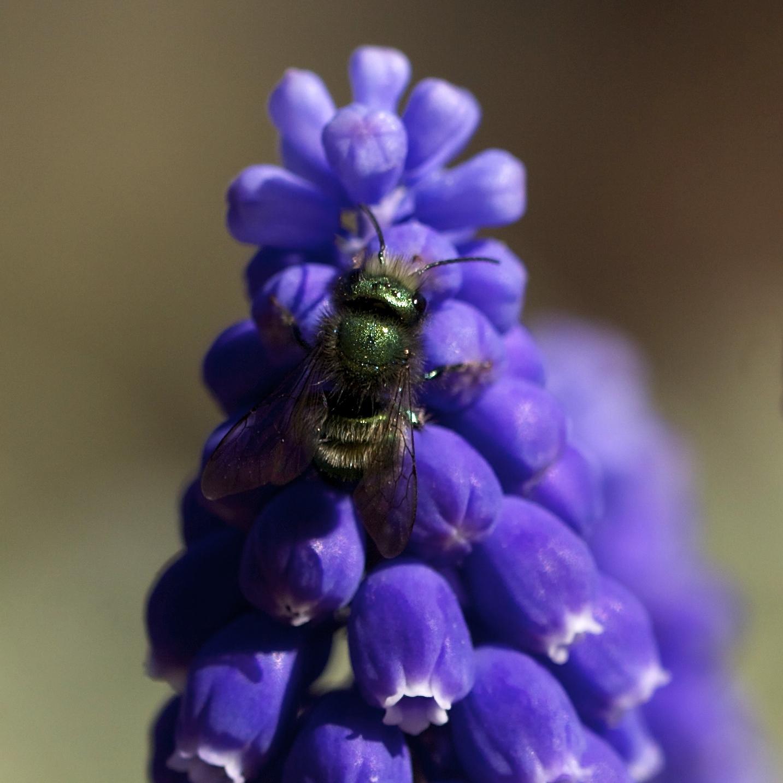 A greenbottle fly on grape hyacinth.