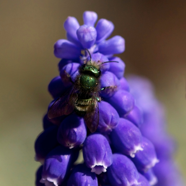 A greenbottle fly on grape hyacinth.