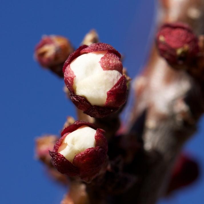 Apricot buds ripening...