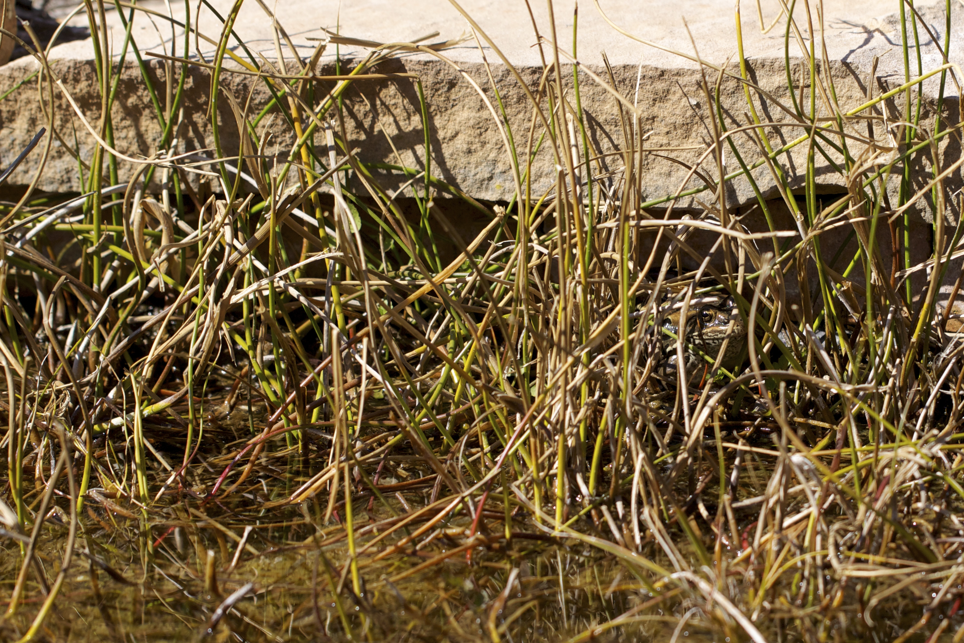The resident leopard frog hides at the edge of the pond. I first spooked her weeks ago finger-combing the rushes, and still she sits there every day.