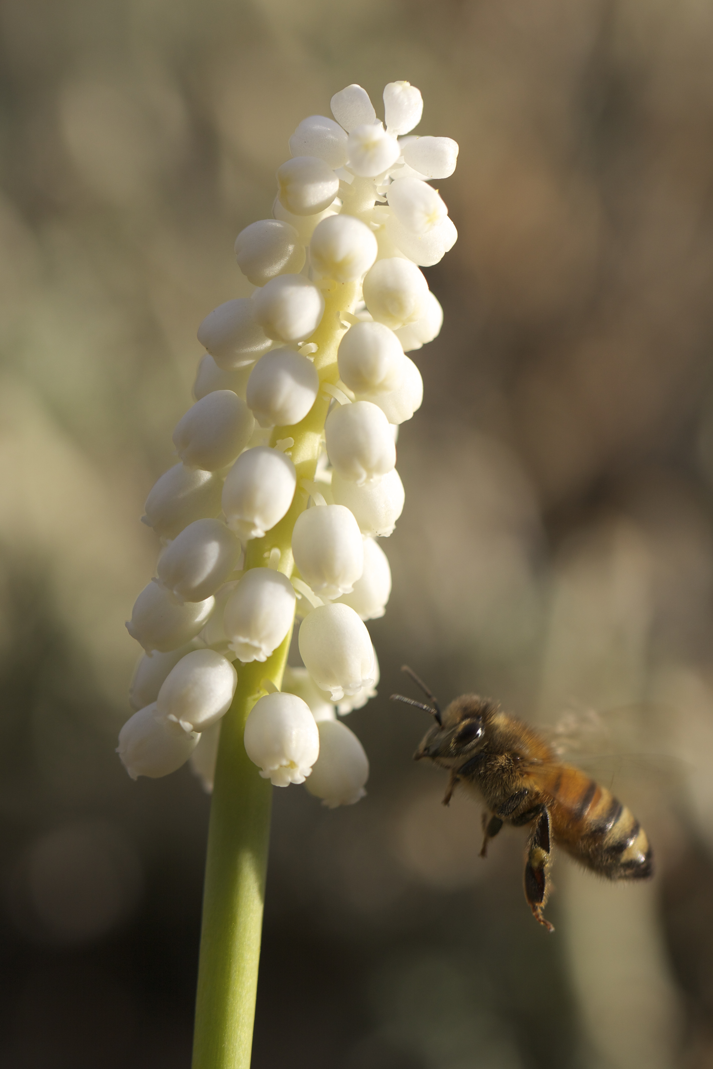 Though they've been blooming about a week today's the first time I've seen a bee at the white ones.