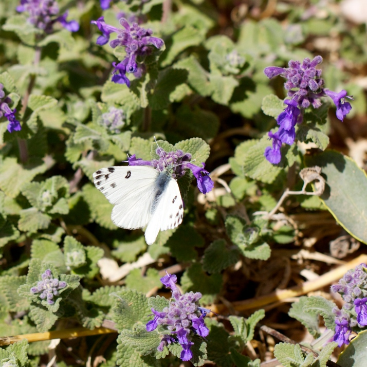 In quest of the elusive white butterfly, moving too fast for me to get close, flittering through the nepeta.