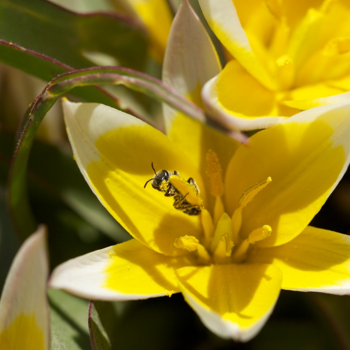 A tiny wild bee plastered in pollen in the mini yellow tulips.
