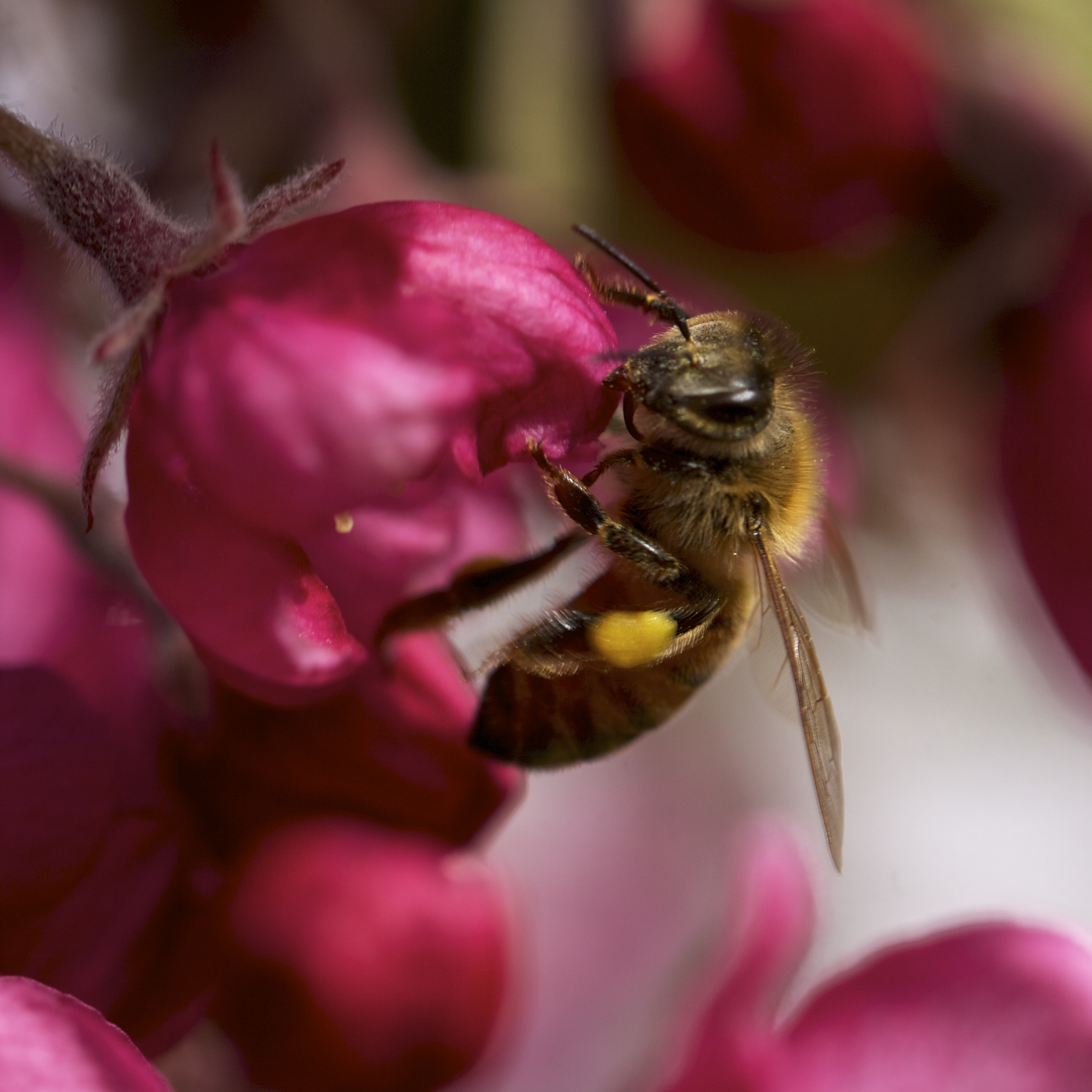 May 9, the bee tree was briefly the crabapple down by the pond.
