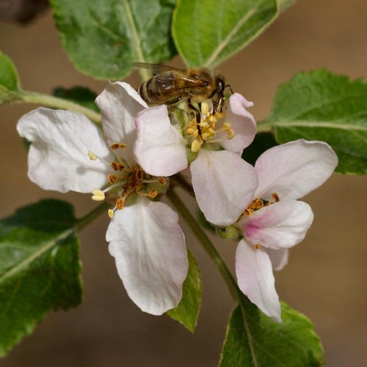 Honeybee on Fuji.