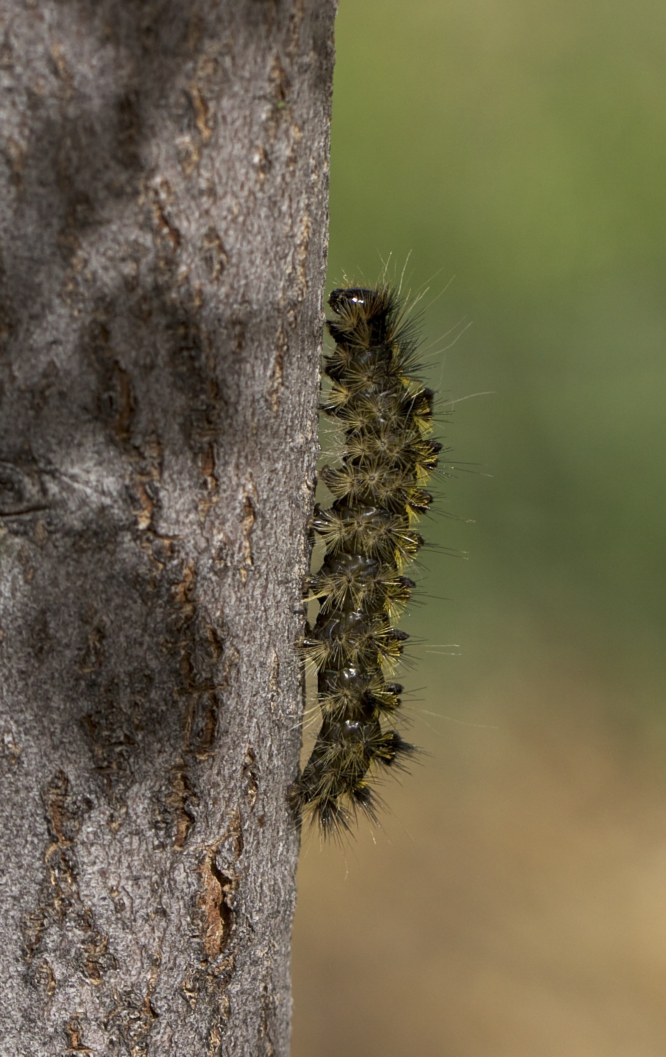 May 17, these caterpillars are crawling the walls all over Crawford. Covering the walkways, on every living thing, looking for a place to pupate. We hope they are innocuous salt-marsh caterpillars and will turn into benign white moths. We'll know more later!