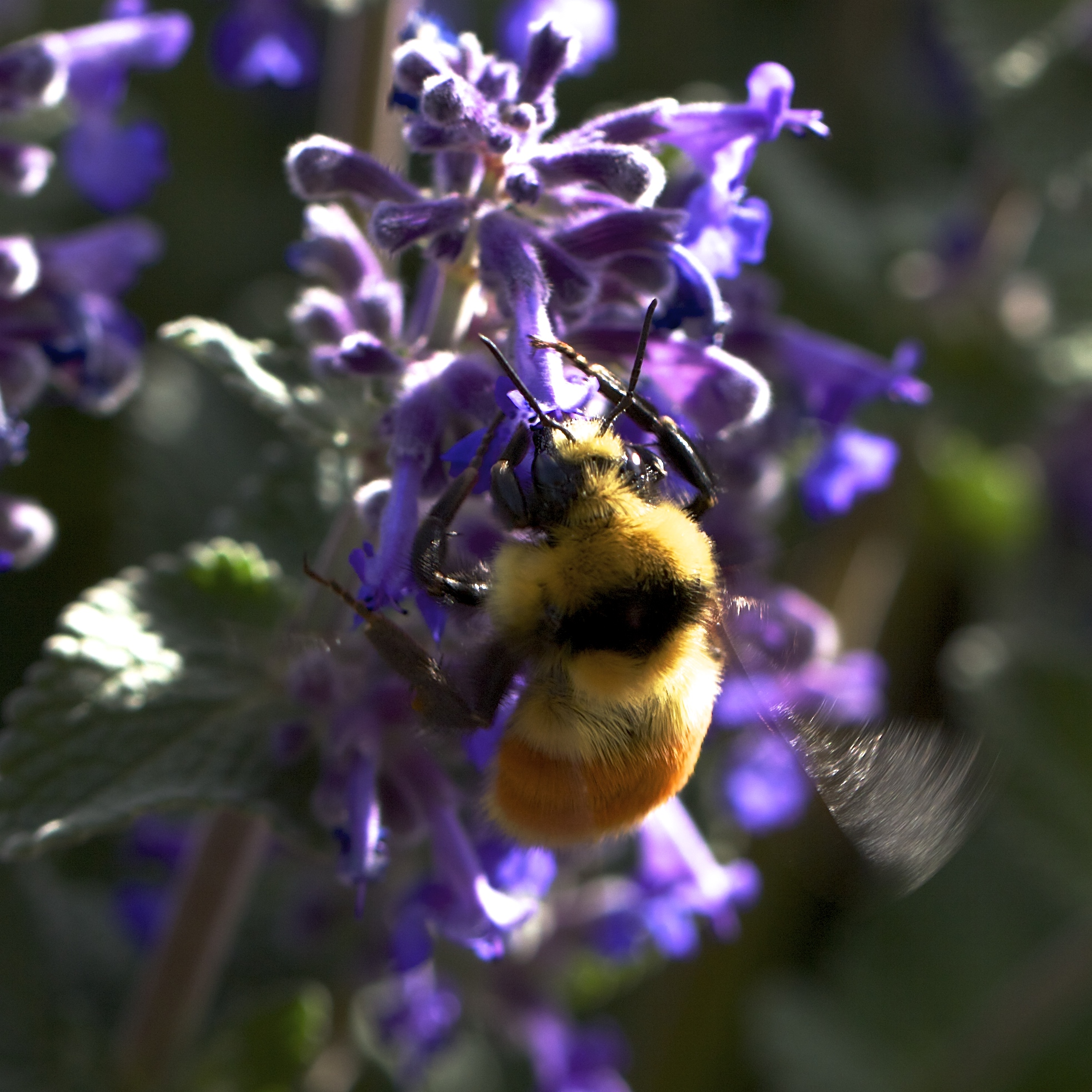 At least five kinds of bumblebees are feeding in the garden. When I get time, when the roller coaster slows a bit, I'll turn to the Bumblebee Guide and find all their names.