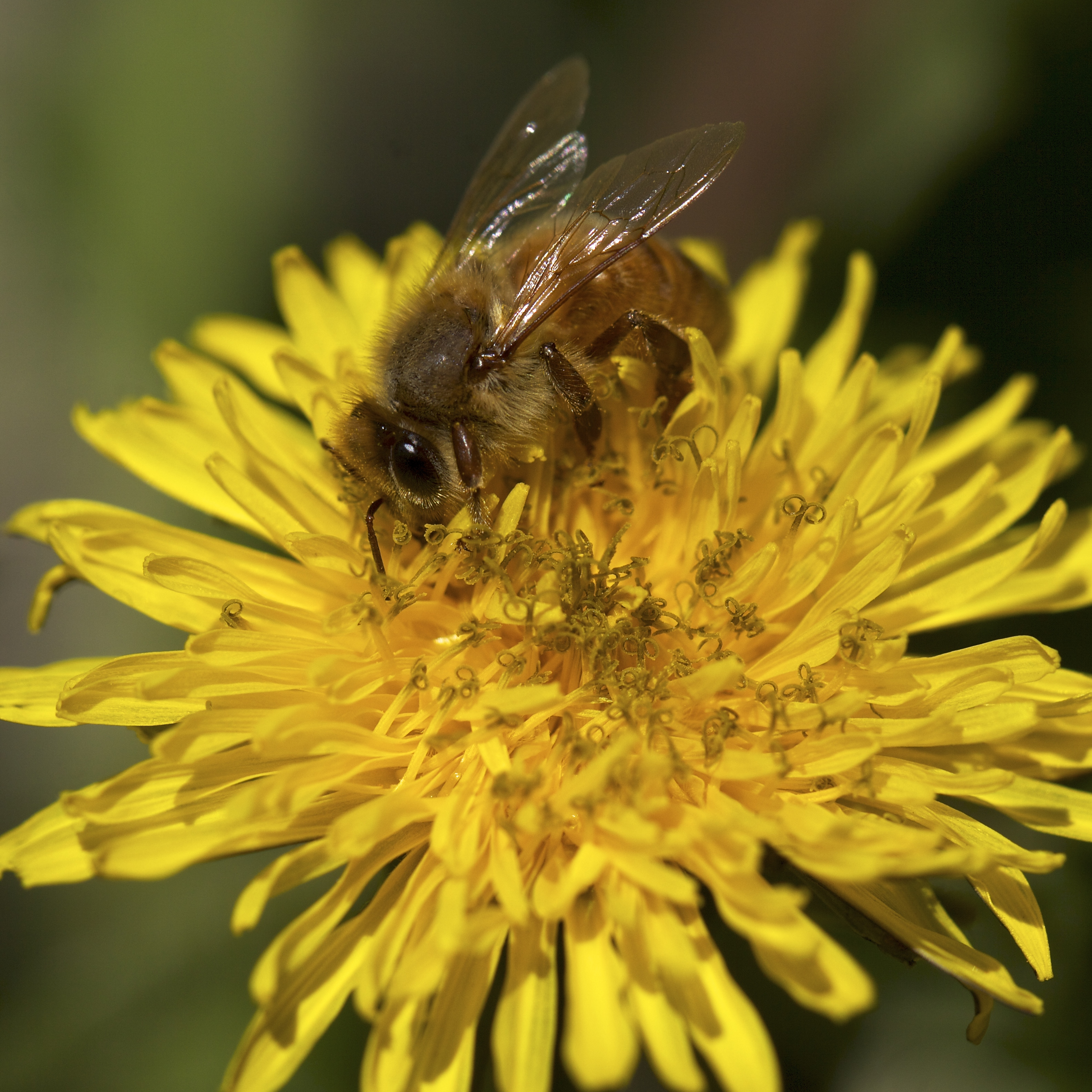I let the dandelions grow on the fringes of the garden beds, on the edges of paths. They're an important early source for all the species of bees.