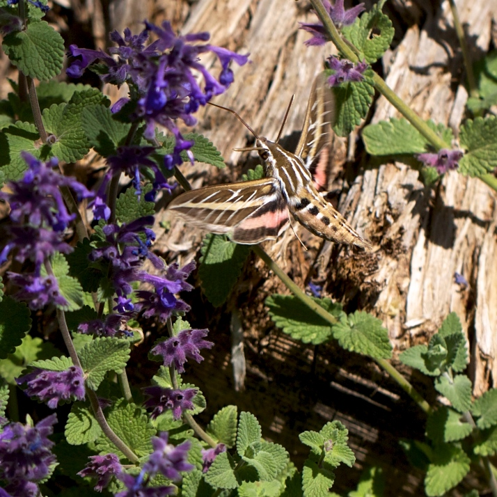 The sphinx moth is also attracted to Nepeta, and sometimes out in the morning.