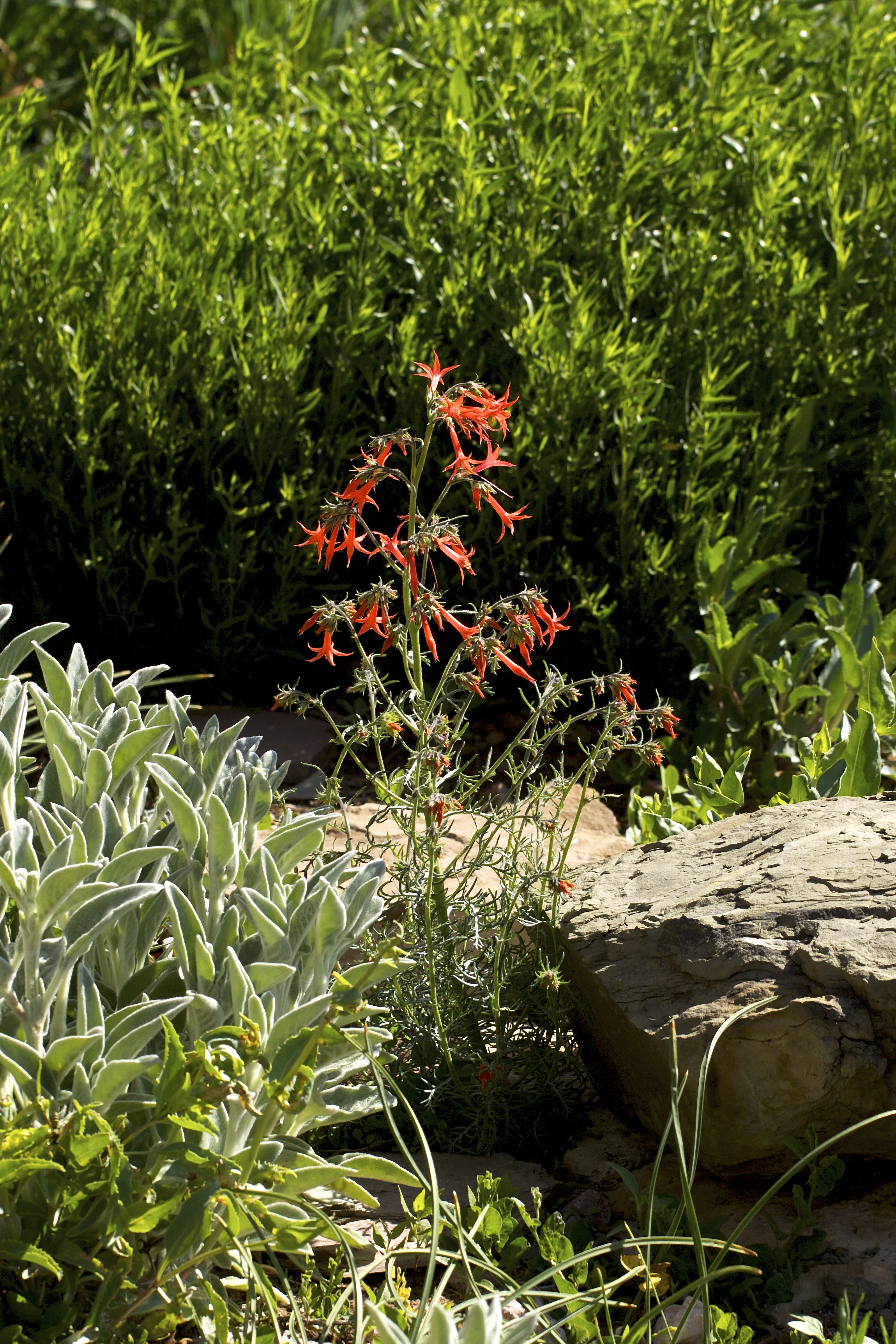 I've only seen a hummingbird once at this scarlet gilia that sprang up in the spring border. I sometimes sit nearby and wait with the camera. One of these days...