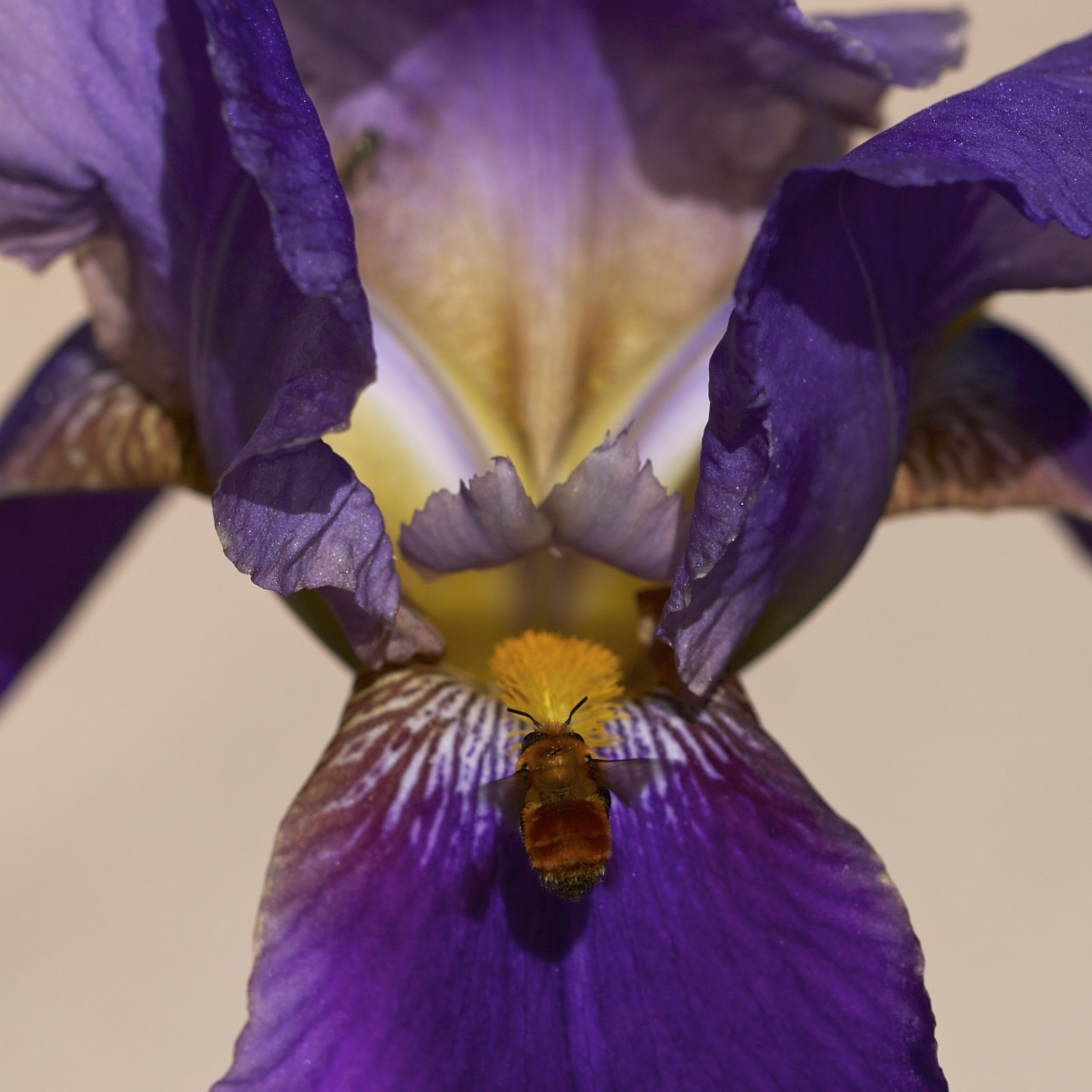 The first big iris opened a week ago. Two days ago this one popped and the little red bumblebees love it.