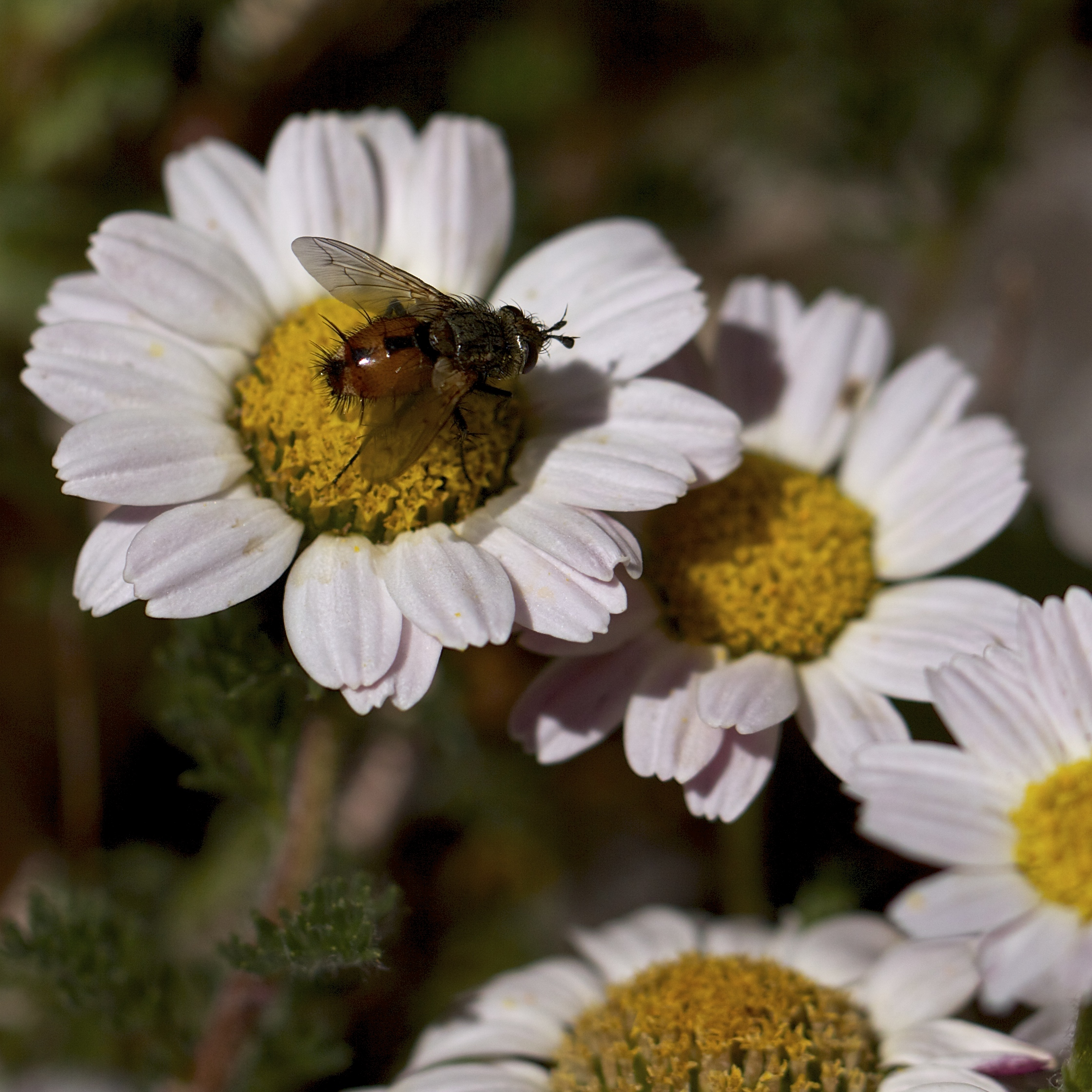 This little red fly also enjoys the mat daisies.