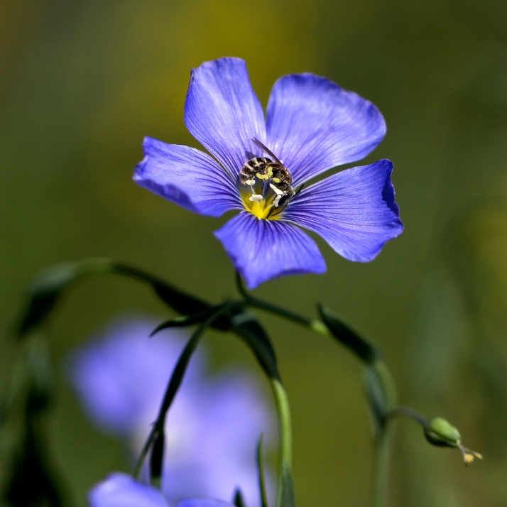 The first blue flax opened just a week ago, and now waves of this delicate flower flow through the garden feeding bees big and small.