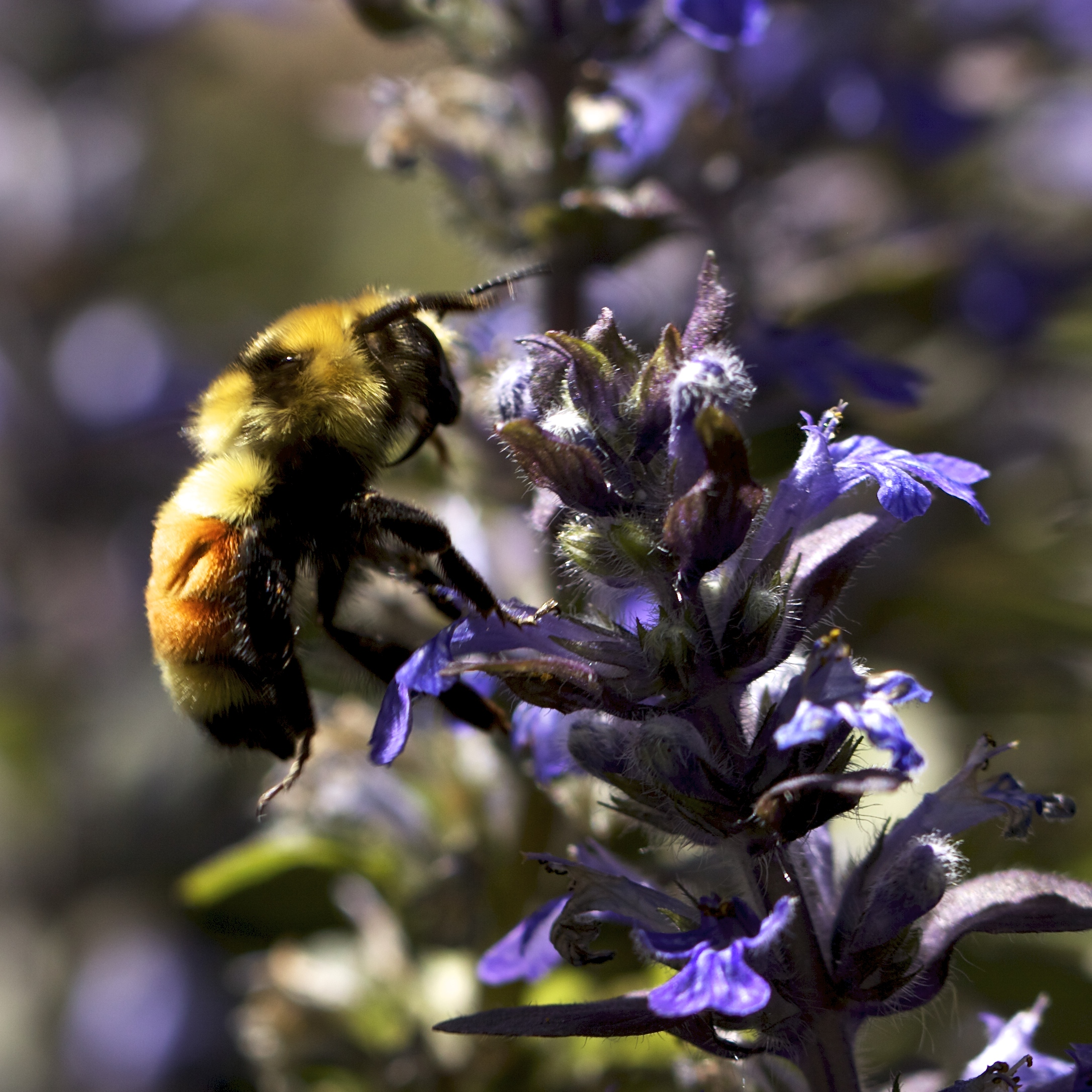 All the bumblebees are all over the Ajuga blooms.