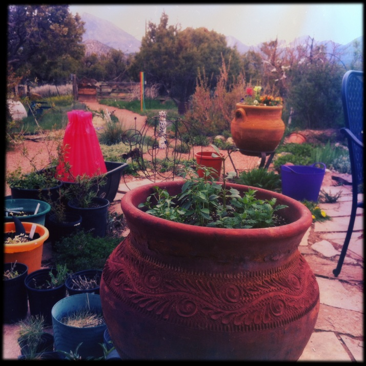 After. The same pot trimmed of flowers, with an Early Girl tomato behind it in a wall-of-water; again, hedging my bets.