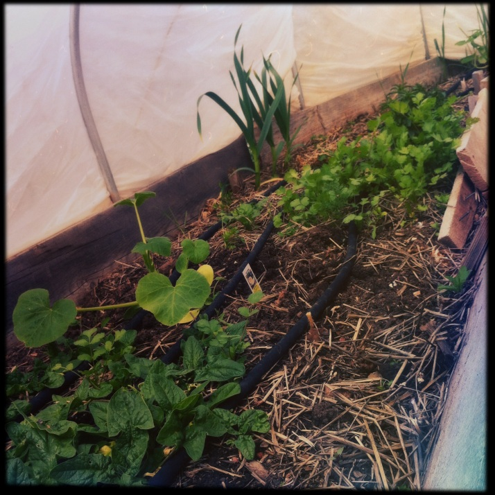 Fall-planted spinach and cilantro interspersed with feral garlic and two winter squashes I put in the tunnel a few days ago, hoping they'll withstand the next few freezing nights and get a good head start for summer.
