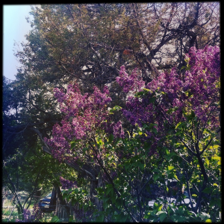 The delicate scent of lilacs held in limbo ~ they started to open in last week's warm weather, and seem to have stopped themselves the past few days of lingering winter.