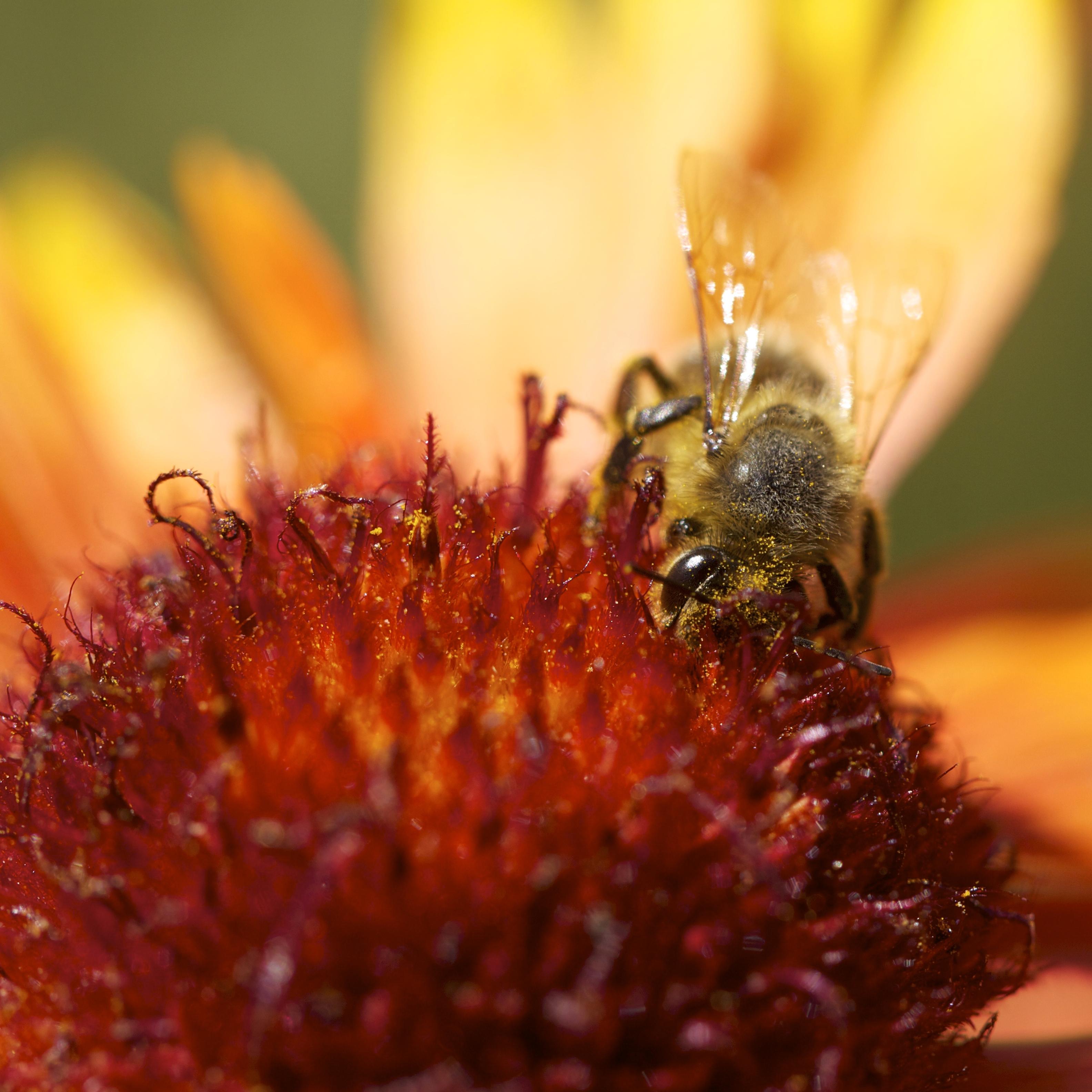 Honeybee face-deep in Gallardia.