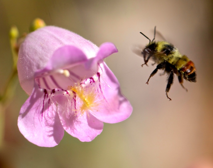 Bumblebee leaving a pink penstemon, probably a hybrid between P. palmeri and P. pseudospectabilis. Both species thrive and self-sow all over the garden and now there's a whole range of pinks between the pale, almost-white palmeri and the vibrant pseudospectabilis.