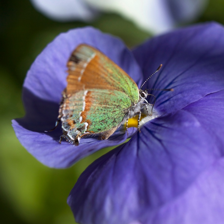 Juniper hairstreak on a purple pansy.