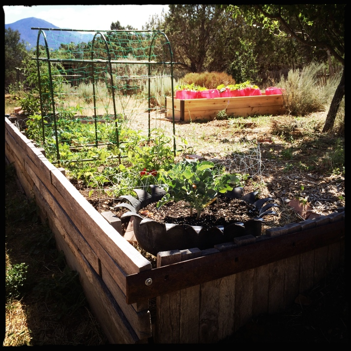 The new raised bed in the south yard grows squashes from Earth Friendly Farm.