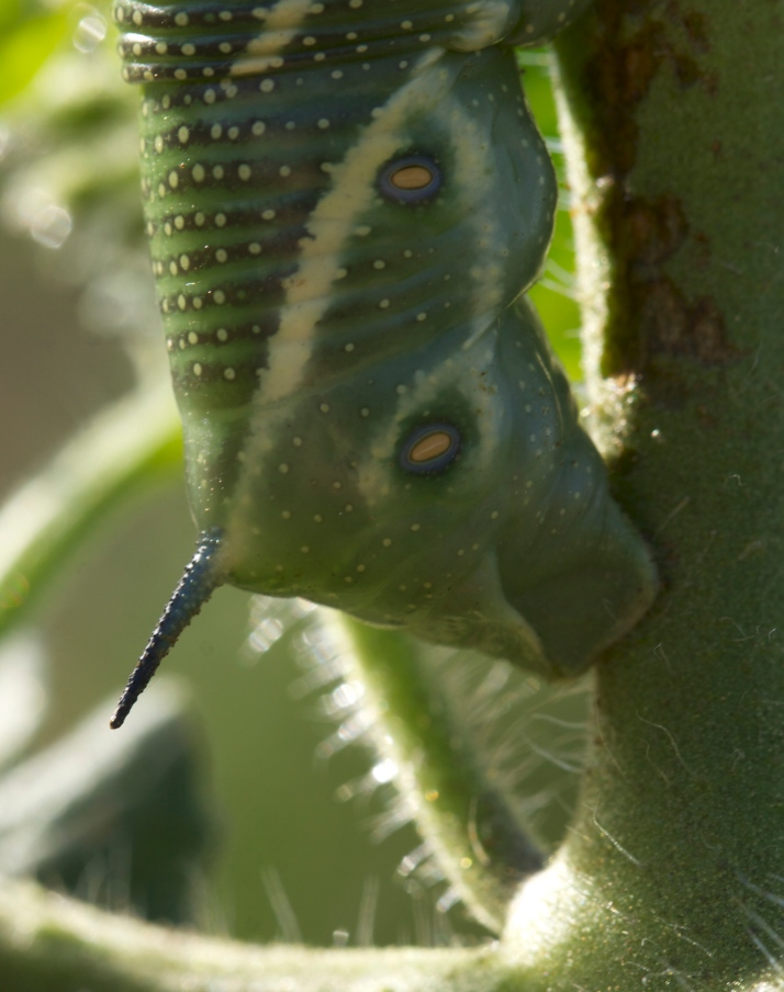 Why do you think they call it Hornworm?