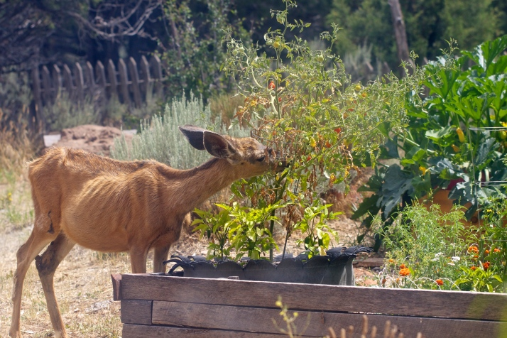 And that pesky doe. Caught her in the act again, eating the last half dozen tomatoes this tired bush is likely to ripen. Just look at her! I can't begrudge her.
