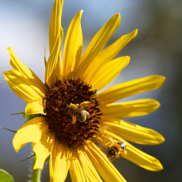 These green-eyed, pollen-packed wild bees constantly prowl the sunflowers. Hey! Get off! This one's mine!