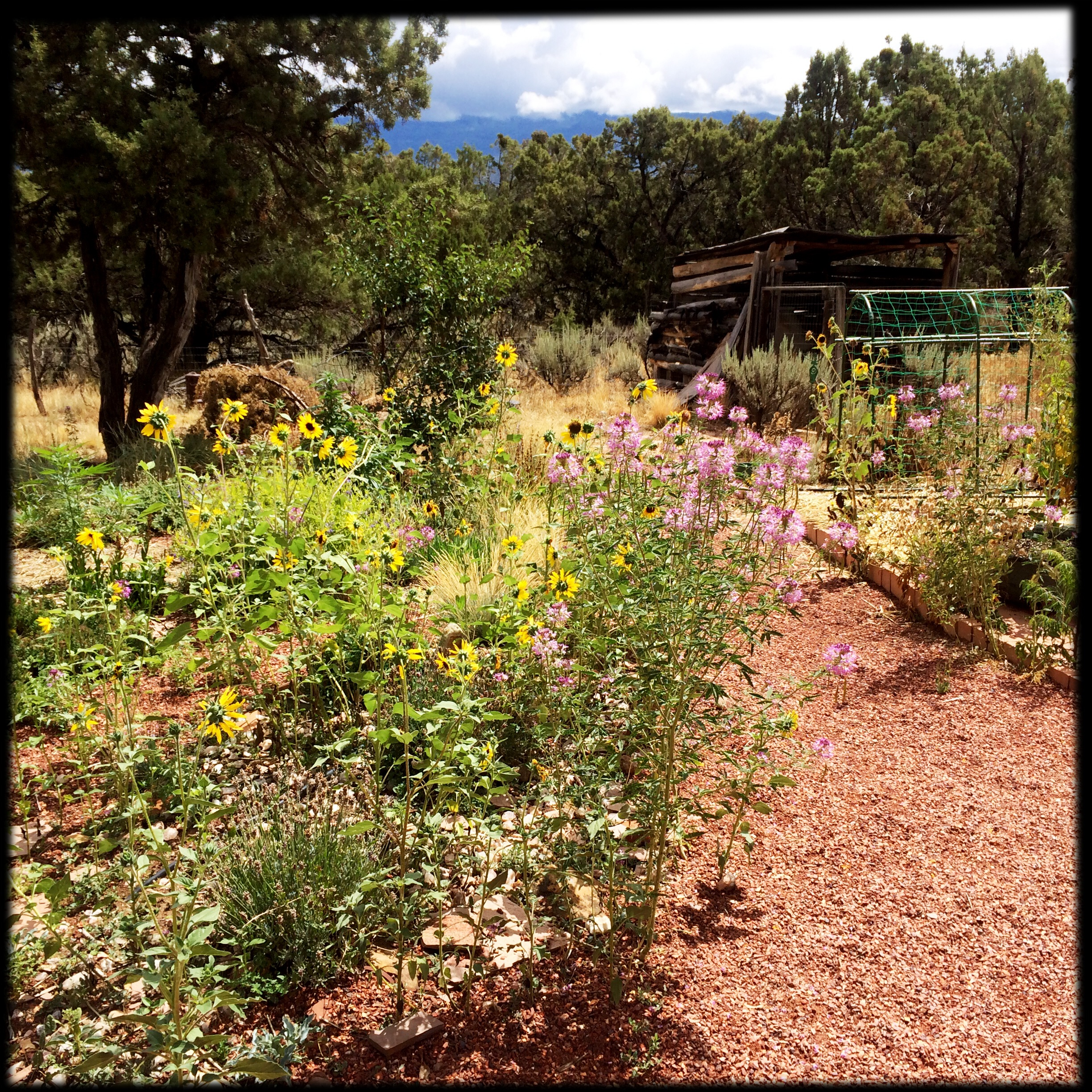 Beeplant and sunflowers grow with abandon in the hottest, driest part of the garden, a lush late summer banquet for bees and birds.