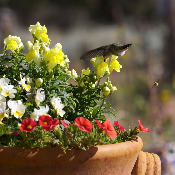 Young hummingbirds find the potted flowers appealing. This one circled the yellow snapdragons sipping from several.