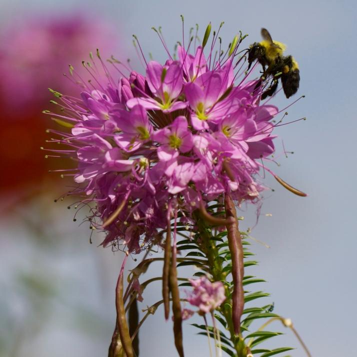 More fun with Rocky Mountain bee plant, Cleome serrulata.