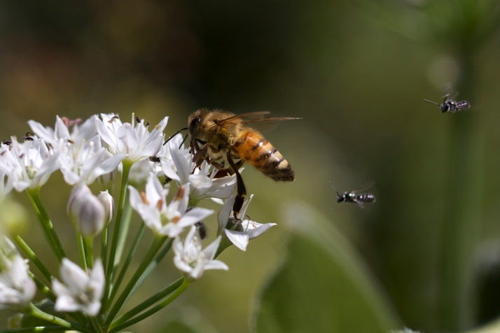 "Garlic chives are the early October ""bee-tree,"" swarming with honeybees, flies, and small wild bees..."