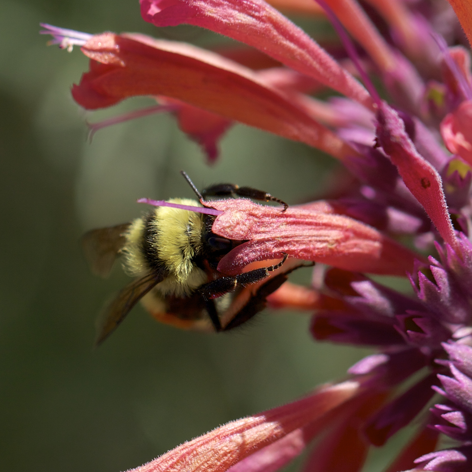 Not only the hummingbirds but bumblebees and wasps are enjoying the long-lasting blossoms of Agastache