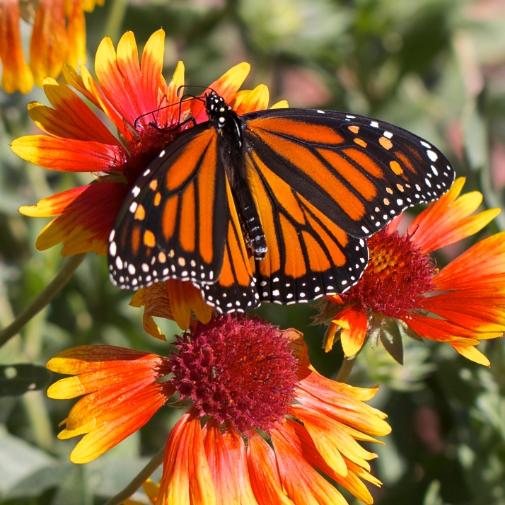 A lone monarch was lucky to find some nectar left on late-blooming Gallardia.