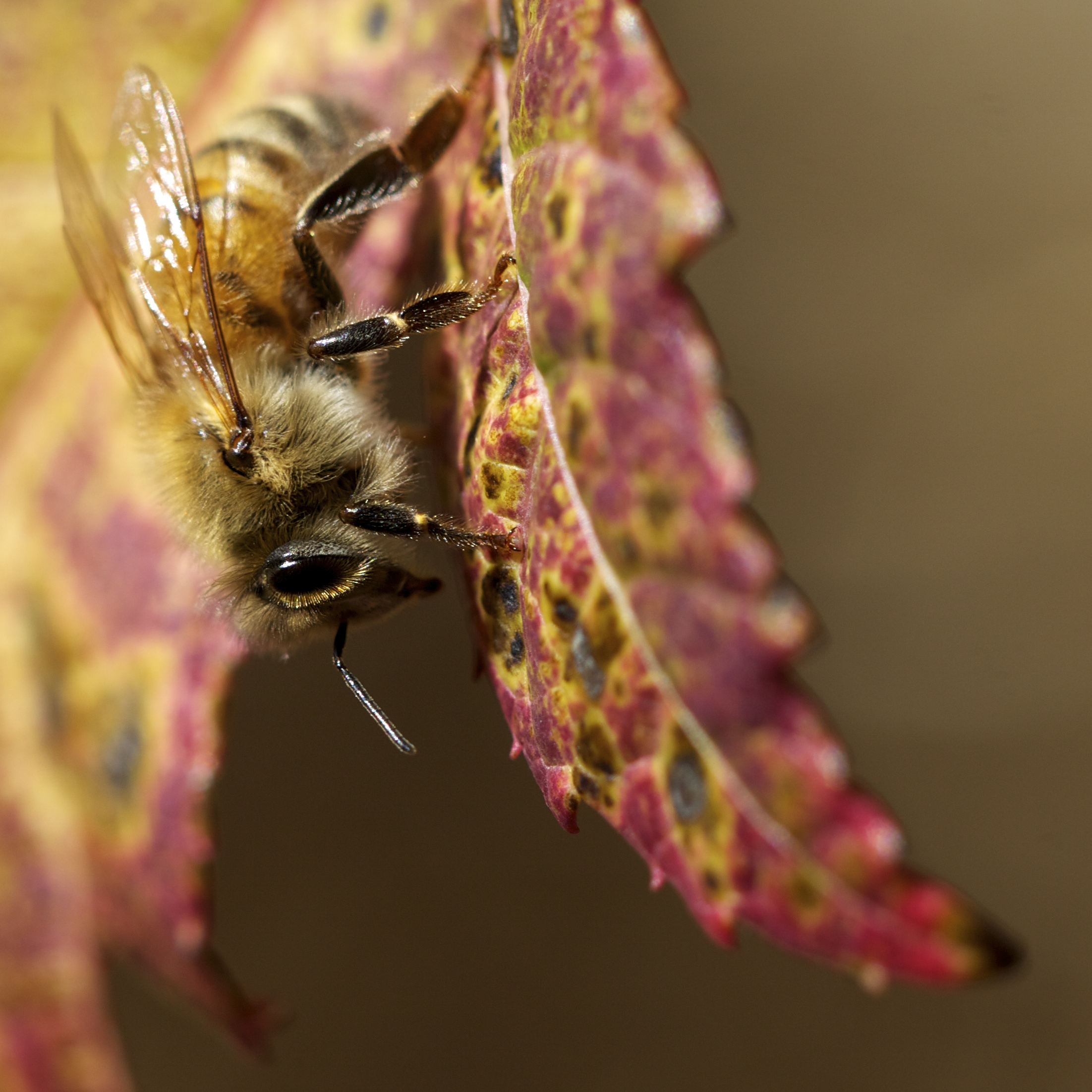 A honeybee seeking something along the turning leaf of the Amur maple beside the hive.
