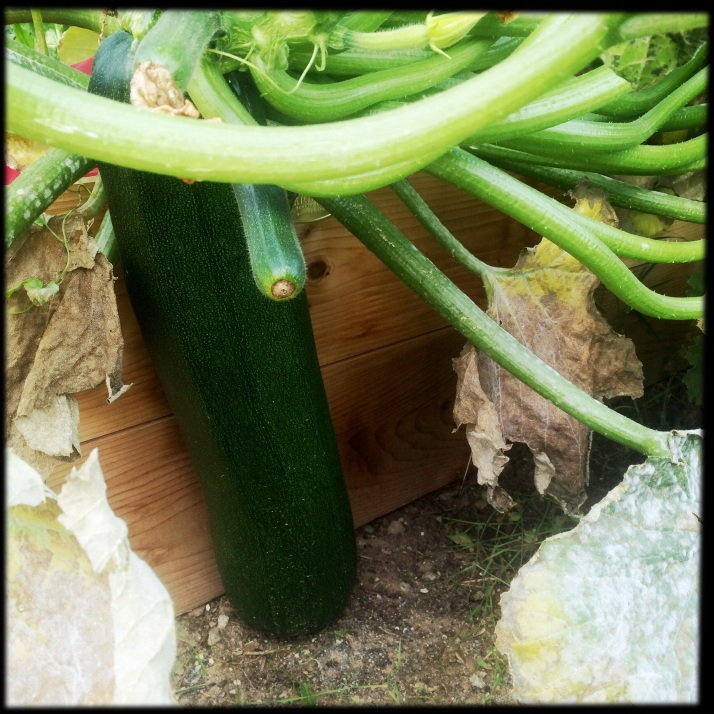 The Last Zucchini. I swear, I checked this plant every few days all fall, hoping to avoid another giant fruit. And suddenly, when I started pulling plants up after the first real frost on October 8, I found this biggest-of-all hidden right along the bed wall.