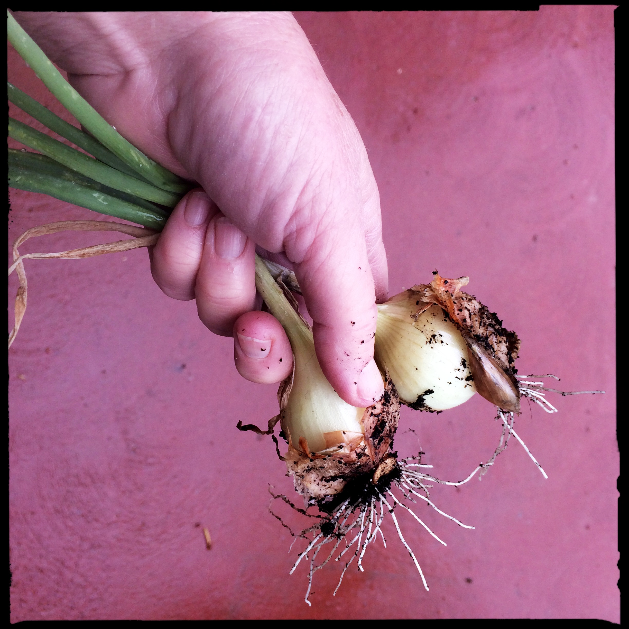 Last summer my friend David stuck a couple of surprises in one of my garden beds, and a few weeks ago I pulled two sweet little Vidalia onions. When I called to thank him, he offered to send me a bunch of starts. He just finished planting 1950 of them in his central Florida garden, where they'll grow long and well until they're four or five inches fat. There's no chance of that here! In fact, it's almost certain they won't survive the winter. But the slim chance of success is worth the gamble.