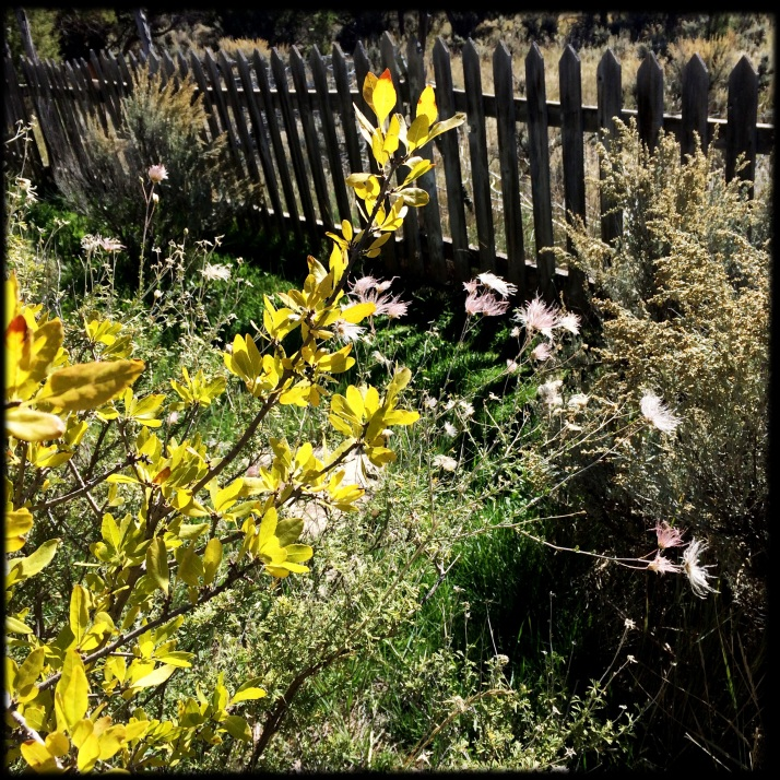 October 13. Freakish reblooming of some spring and summer flowers, including blue flax and this apache plume, flowering and seeding again even as the leaves of Foresteria in front of it turn an appropriate yellow.