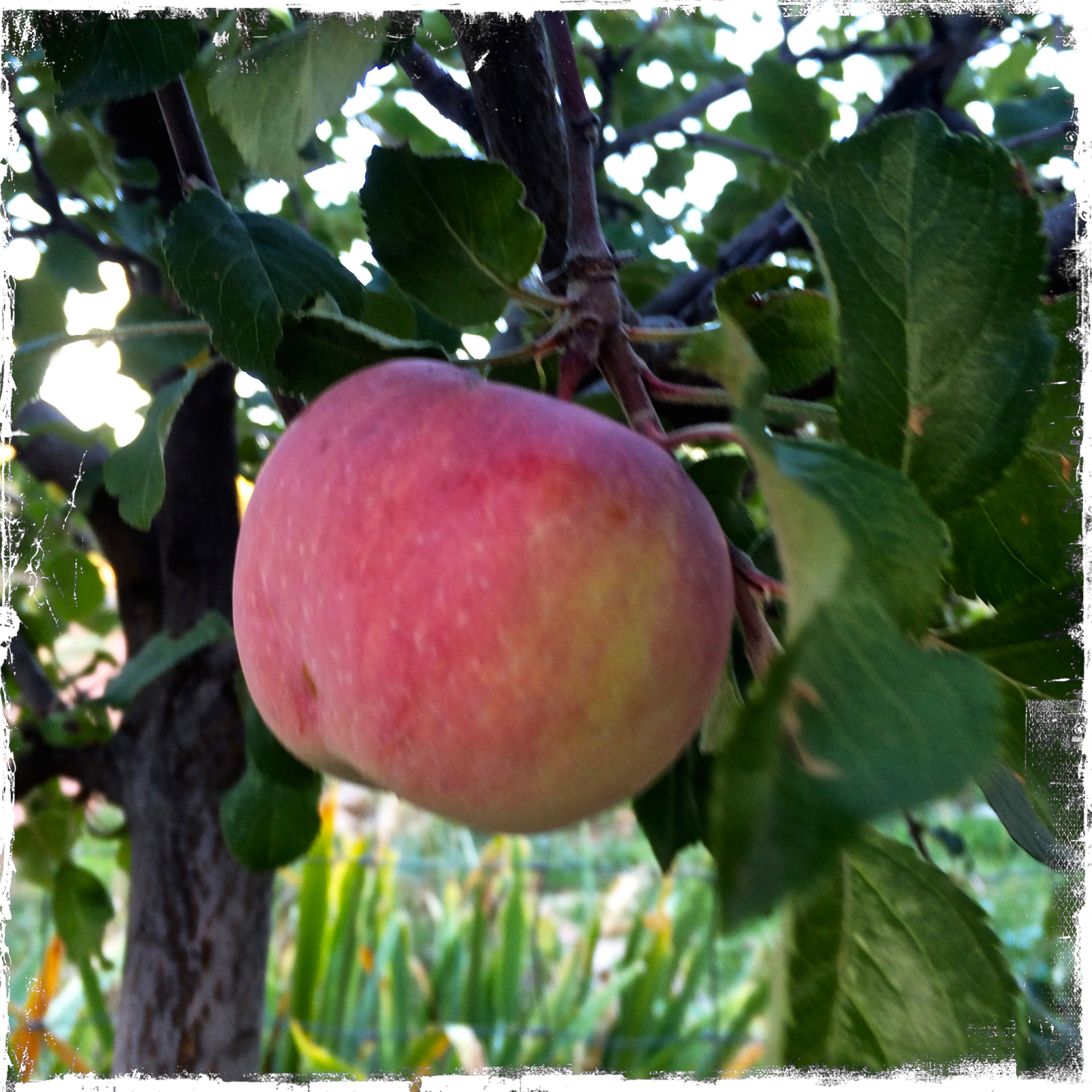 The sum total of my entire fruit harvest this year, one little Fuji apple. The rest, the handful of apricots, peaches, and almonds that survived late spring freezes, fed the birds and chipmunks before they ripened.